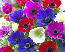 Il fiore del mese di ottobre: anemone giapponese